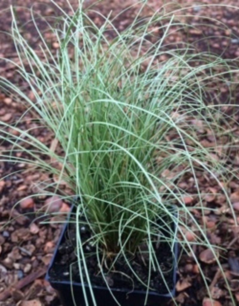 Carex 'Amazon Mist'- 4 inch