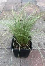 Carex comans 'Frosty Curls'- 4 inch