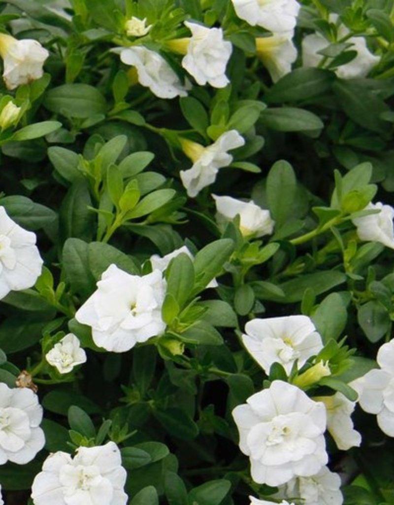 Calibrachoa 'Minifamous Double White'- 4 inch