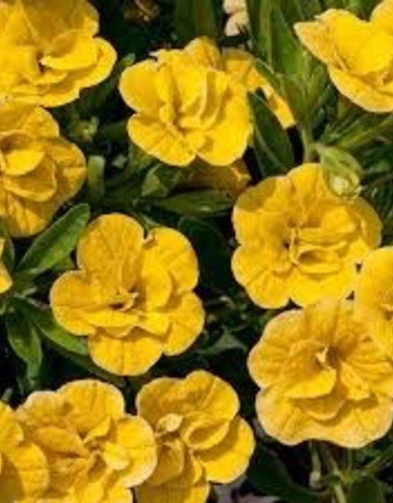 Calibrachoa 'Double Yellow'- 4 inch