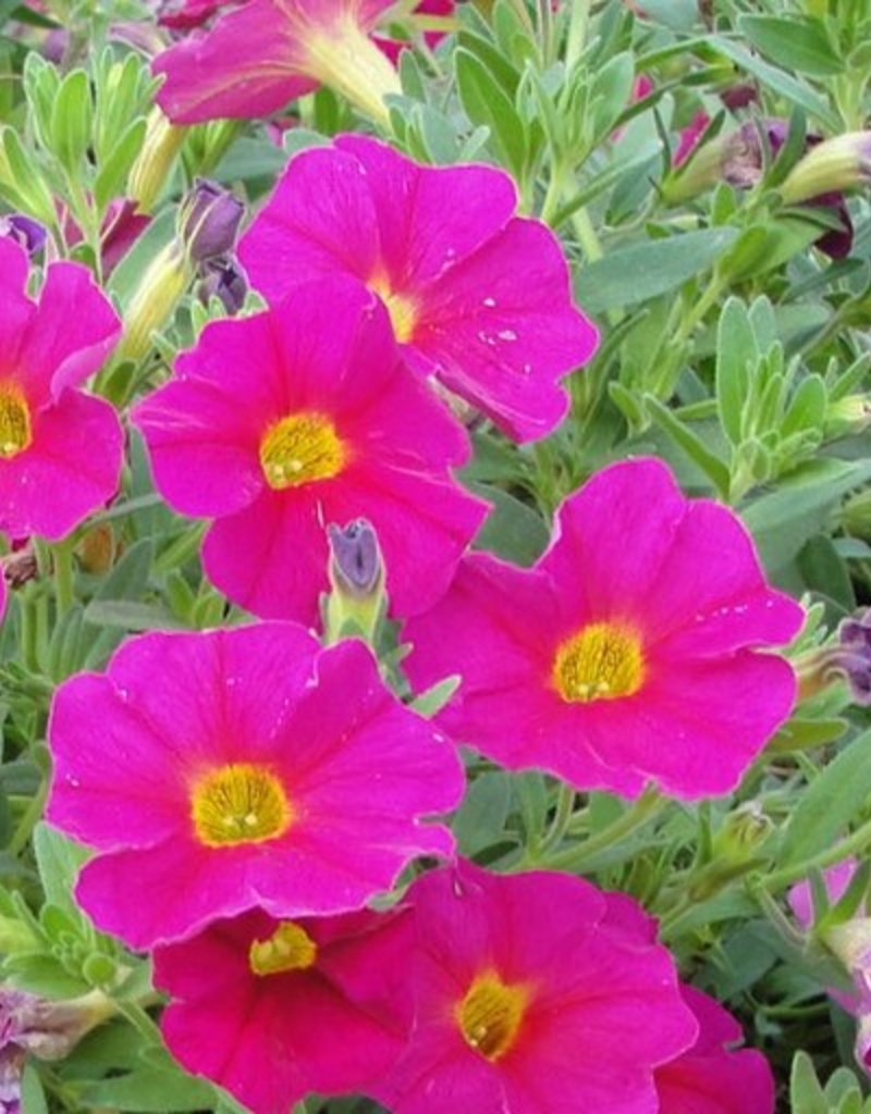 Calibrachoa 'Callie Rose'- 4 inch