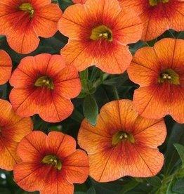 Calibrachoa 'Callie Orange'- 4 inch