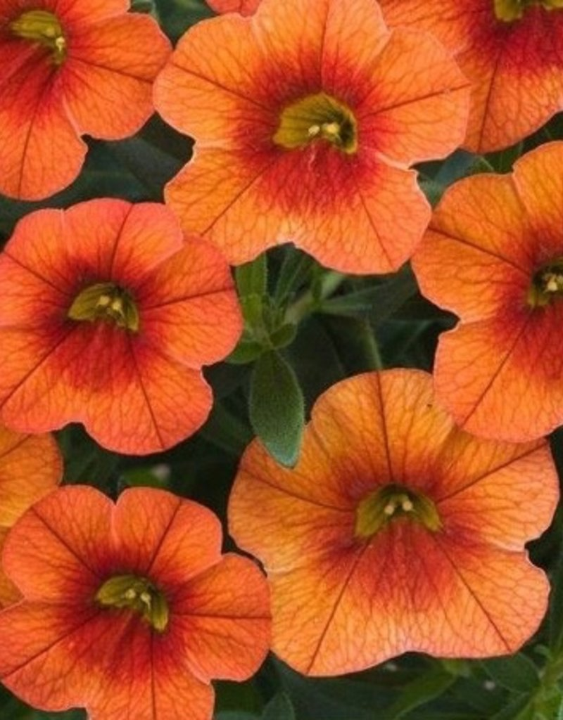 Calibrachoa 'Callie Orange'- 4 inch