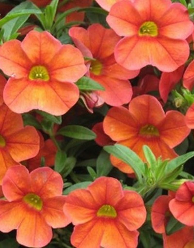 Calibrachoa 'Aloha Kona Hot Orange'- 4 inch