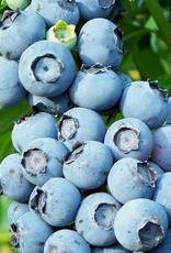 Blueberry 'Toro'- 1 gal