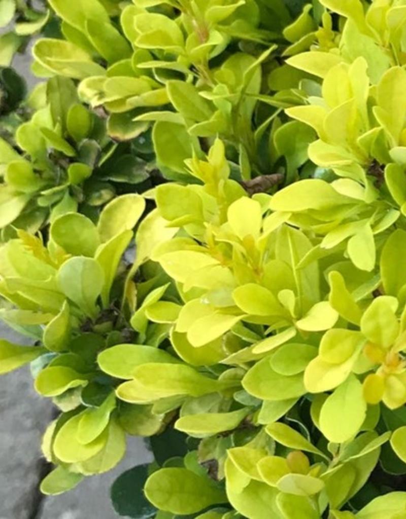 Berberis 'Tiny Gold'- 1 gal
