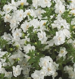 Bacopa 'Gulliver Double Snowball'- 4 inch