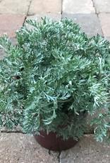 Artemisia powis castle - 1 gal