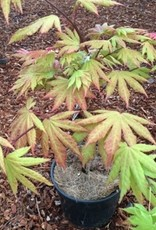 Acer shirasawanum 'Autumn Moon'- 1 gal