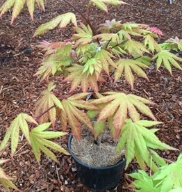 Acer shirasawanum 'Autumn Moon'- 1 gal