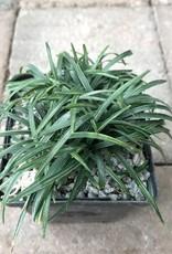 Ophiopogon j. 'Fuiri Gyoku Ryu'- 4 inch