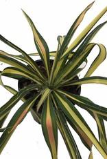 Yucca 'Color Guard' - Quart