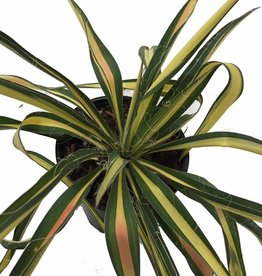 Yucca 'Color Guard' - Quart