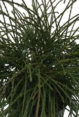 Thuja plicata 'Whipcord'- 1 gal