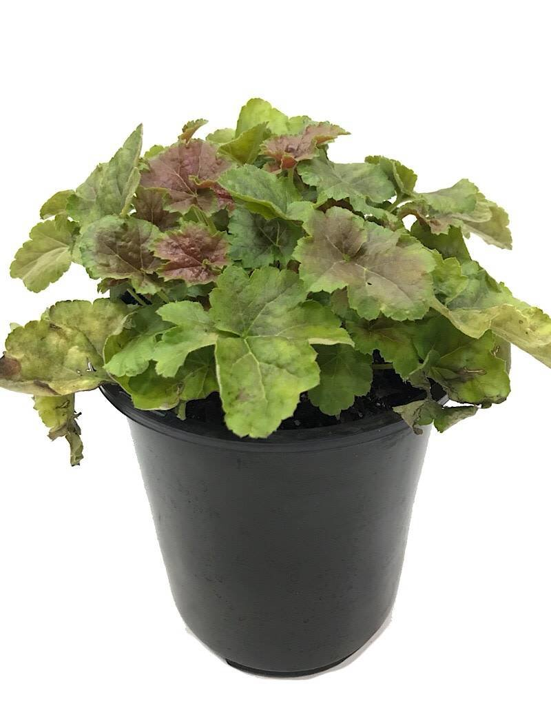 Heuchera v. 'Miracle' - 1 gal
