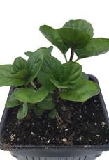 Mint 'Spearmint' - 4 inch