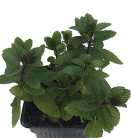 Mint 'Julep Spearmint' - 4 inch