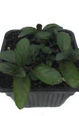 Mint 'Peppermint' - 4 inch
