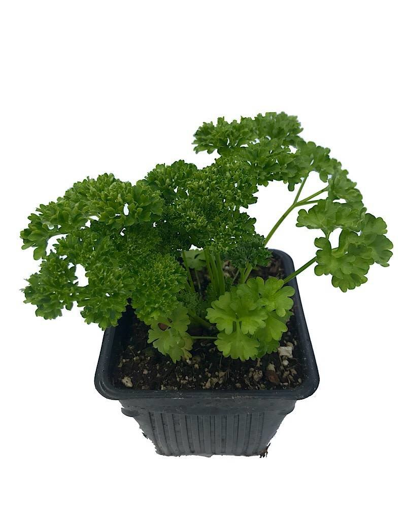 Parsley 'Curley' - 4 inch