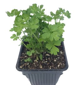 Parsley 'Italian' - 4 inch