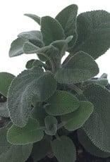 Sage 'Berggarten' - 4 inch