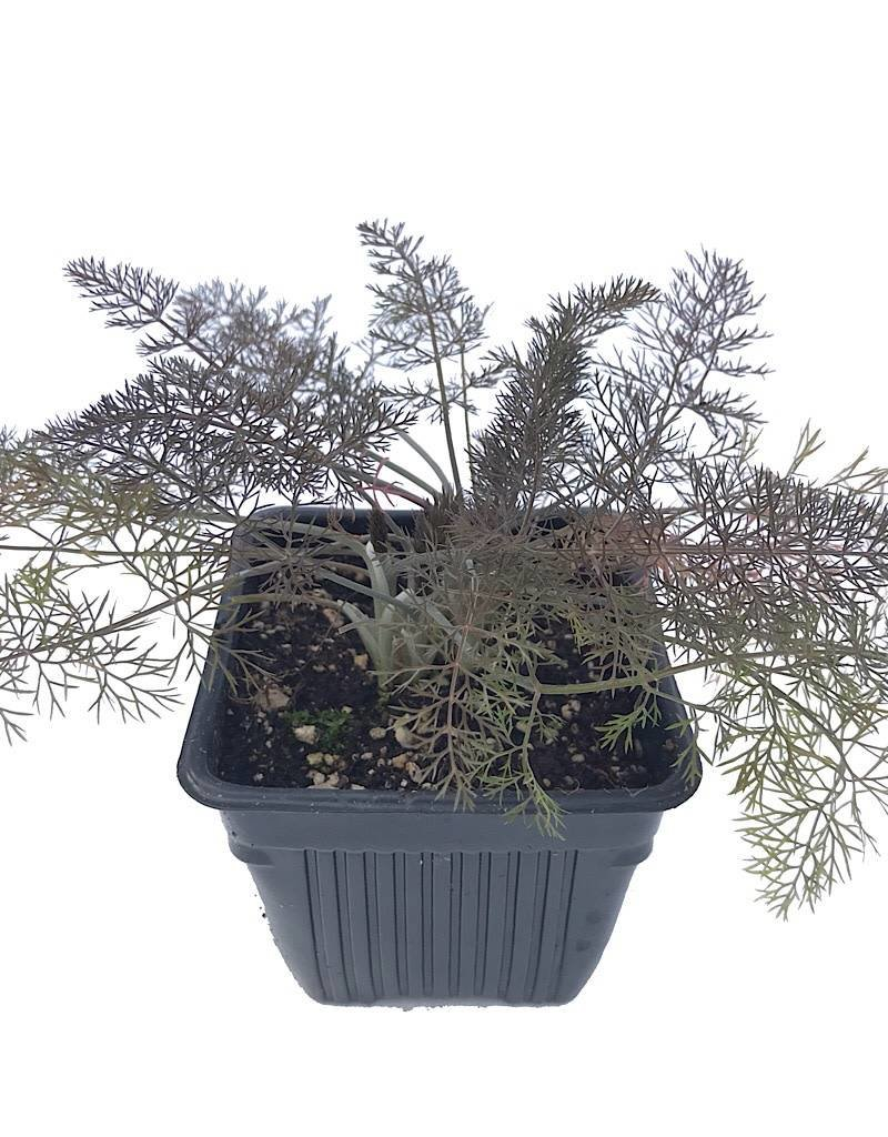 Fennel 'Bronze' - 4 inch