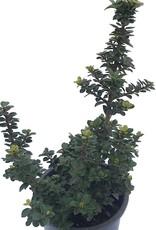 Ilex crenata 'Dwarf Pagoda'- 1 gal