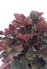 Heuchera 'Crimson Curls' - 1 gal