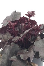 Heuchera 'Midnight Rose'- 1 gal
