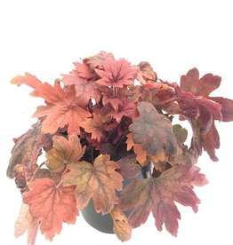 Heucherella 'Sweet Tea'- 1 gal