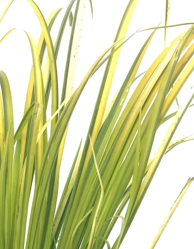 Acorus gramineus 'Ogon'- 4 inch