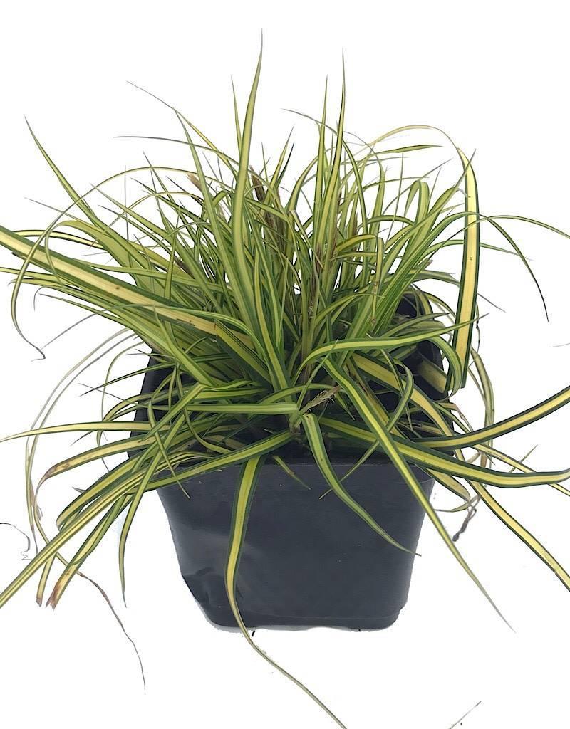 Carex o. 'EverColor Everillo' - 4 inch