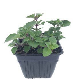 Oregano 'Hot & Spicy' - 4 inch