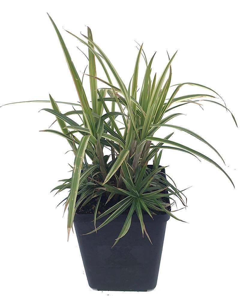 Carex 'Sparkler' - Quart