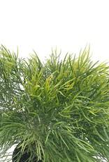Acacia cognata 'Cousin ltt'- 1 gal