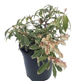 Pieris japonica 'Flaming Silver'- 1 gal