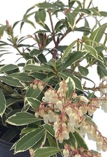 Pieris japonica 'Flaming Silver'- 1 gal