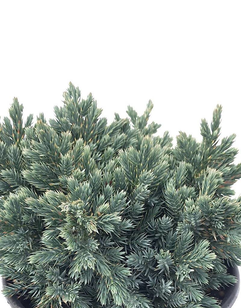 Juniperus squamata 'Blue Star'- 1 gal