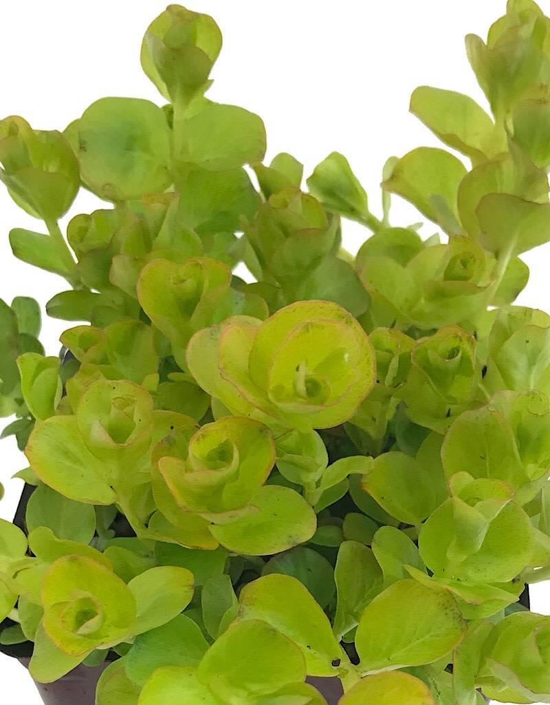 Lysimachia n. 'Aurea'- 4 inch