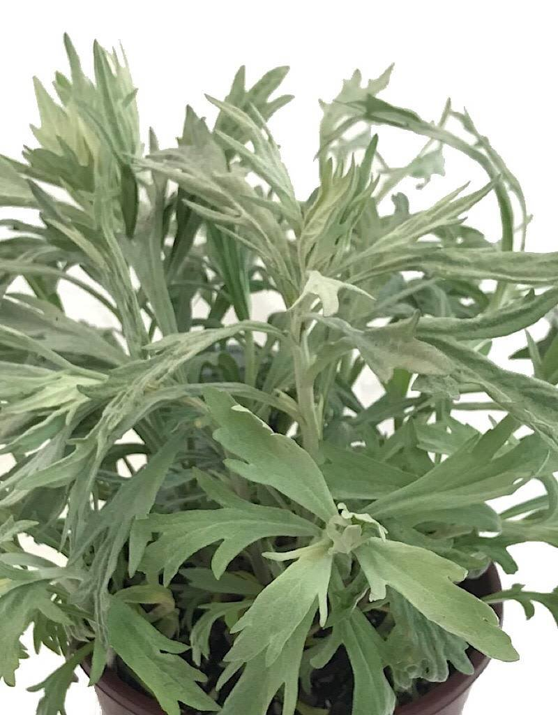 Artemisia l. 'Valerie Finnis'- 1 gal
