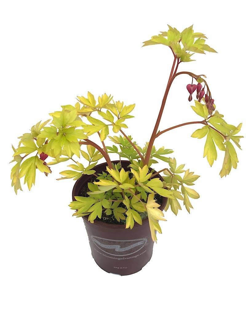 Dicentra 'Gold Heart'- 1 gal