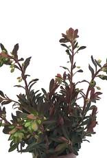Euphorbia x martinii 'Red Martin'- 1 gal