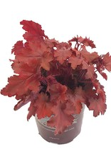 Heuchera 'Fire Chief'- 1 gal