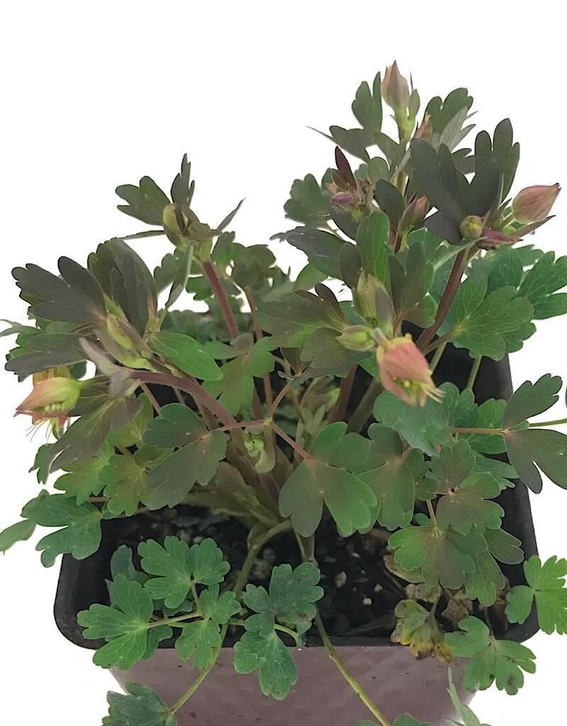 Aquilegia canadensis 'Little Lanterns' - 4 inch