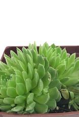 Sempervivum 'Pekinese'- 4 inch