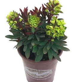 Euphorbia 'Red Wing'- 1 gal