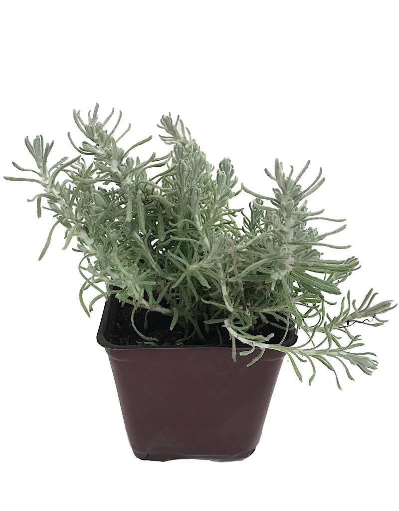 Helichrysum i. 'Nana'- 4 inch