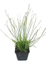 Carex 'Kaga Nishiki'- 4 inch