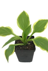Hosta 'So Sweet' - 4 inch