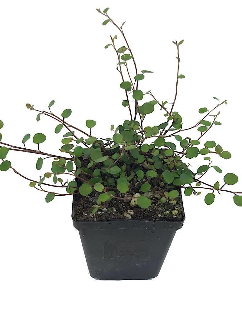 Muehlenbeckia c. - 4 inch